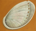 Haliotis - 60x70cm